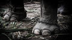 Locked (Cédric Nitseg) Tags: slavery nikon asia abuse greelow slave voyage backpacking elephant backpacker eye travel oeil travelling asie thaïlande kohsamui d7000 animal éléphant thailand