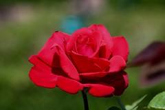 Grand Amour      Boyer Paris Saphir 85 mm F 4.5 (情事針寸II) Tags: 赤 クローズアップ 自然 花 薔薇園 薔薇 closeup bokeh tessar oldlens red nature fleur flower rosegarden rose kasteelcoloma boyerparissaphir85mmf45