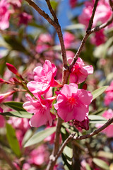 IMG_1304 (jaglazier) Tags: 122018 2018 cerrosantalucia chile december pink santalucia santiago urbanism bushes cities copyright2018jamesaglazier flowers gardens parks plants