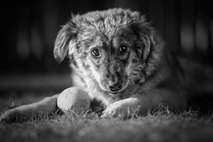 Zeus 5 (Christina Draper) Tags: rescue puppy cypris dog canine caninephotography dogphotography petphotography blackandwhite