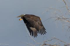 Bald Eagles Klamath Refuge-3.jpg (RaJ-Fr) Tags: bald eagle klamath refuge flying sky tree