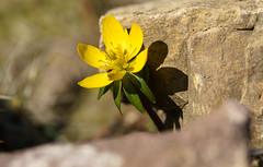 Ein Winterling (KaAuenwasser) Tags: winterling pflanze blume zierblume blüte makro gelb sonne schatten