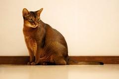 LizZie viewing... 😼 (DizzieMizzieLizzie) Tags: view abyssinian aby lizzie dizziemizzielizzie portrait cat feline gato gatto katt katze kot meow pisica sony neko gatos chat fe ilce ilce7m3 a7iii pose classic golden bokeh dof animal t f14 85mm gm 2019 wood wall