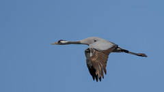 Eurasian crane (JS_71) Tags: nature wildlife nikon photography outdoor 500mm bird new winter see natur pose moment outside animal flickr colour poland sunshine beak feather nikkor d500 wildbirds planet global national wing eye watcher