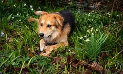 Boysen (Klummen) Tags: garden dog eating boysen rain flower lying