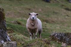 Sheep (DJNanartist) Tags: nikon28300mm lakedistrict anartist nikon d200 tracks testing