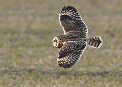 Short-eared Owl gliding (Thomas Muir) Tags: asioflammeus bird raptor birdwatching outdoor woodcounty bowlinggreen ohio flying hunting nikon animal 600mm
