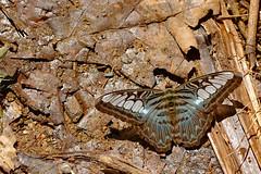 Parthenos sylvia ssp. apicalis - Chiang Dao_20180202_1127_DSC_7242_DxO (I love comments but delete awards - Jan F. Rasmuss) Tags: thailand d800 butterfly butterflies macro closeup insecta lepidoptera rhopalocera nikon janfischerrasmussen janfrasmussen asia southeastasia nymphalidae nymphalid nymphalids limenitidinae parthenossylvia parthenos parthenossylviasspapicalis sylvia apicalis doi chiangmai chiangmaiprovince