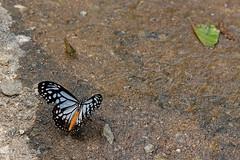Parantica melaneus ssp. plataniston - Chiang Dao_20180205_1411_DSC_8475_DxO (I love comments but delete awards - Jan F. Rasmuss) Tags: thailand d800 butterfly butterflies macro closeup insecta lepidoptera rhopalocera nikon janfischerrasmussen janfrasmussen asia southeastasia nymphalidae nymphalid nymphalids danainae danaidae paranticamelaneussspplataniston paranticamelaneus parantica melaneus plataniston doi chiangmai chiangmaiprovince