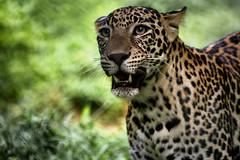 Léopard (Masaï-Mara) (Ma Poupoule) Tags: leopard afrique africa animal animaux savane
