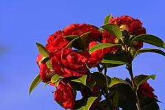 Kamelie (Michael Döring) Tags: gelsenkirchen bismarck marschallstrase kamelie camelliajaponica afs105mm28microg d7200 michaeldöring