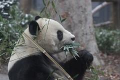 Ri Ri 2019-02-09 (kuromimi64) Tags: tokyo uenozoo 上野動物園 uenozoologicalgardens zoo 動物園 東京都 台東区 japan bear クマ 熊 giantpanda ジャイアントパンダ panda パンダ 熊猫 大熊猫 riri 比力 リーリー