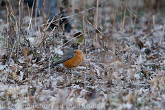 Robin 2019 2 (Kenjis9965) Tags: sony a7 ilce7m3 sigma 150600mm f563 os c contemporary 150600mmf563dgoshsm|c nature birds briding outside robin northeast spring