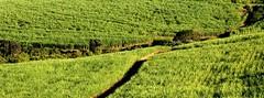 Australia: Sugar set for 'Energycane' Reinvention