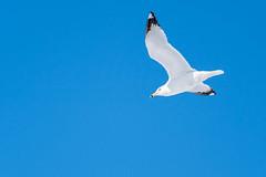 47159 - Goéland à Bec Cerclé - Ring-Billed Gull - Crop (xVanHovenx) Tags: oiseau bird nature goélandàbeccerclé ringbilledgull parcdelacité sthubert sonya7iii sigmamc11 sigma150600mmcontemporary