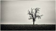 Hard Times... (old style) (Ody on the mount) Tags: anlässe bäume em5ii felder filmkorn fototour himmel landschaft linien mzuiko6028 omd olympus pflanzen rahmen silhouette solitär bw fields frame grain landscape lines monochrome sw tree