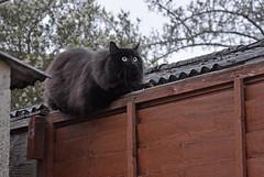 Bird lover (Caulker) Tags: cat hunter fence