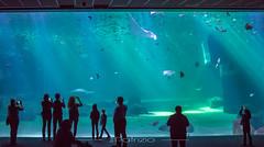 IMG_0860 (patriziophotoamateur) Tags: aquarium sous marin mer poisson fish poissons raie musé musée museum ocean nausicaa maritime sea acqua vert bleu bleue green blue verde azzuro mare oceano pesce museo maritimo maritima