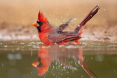 Splish Splash #2 (tspine) Tags: northerncardinal santaclararanch texas