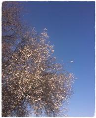 Blossom Tree (Arwen Light) Tags: cherry blossom tree spring nature sky springtime natureperfection slowliving naturelovers slowdownwithstills natureaddicts blossomtree naturehippys colours skyporn spring2019 petals