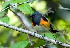 0P7A2450  American Redstart_warbler (ashahmtl) Tags: americanredstart bird warbler songbird passerine setophagaruticilla coopermarsh ontario canada