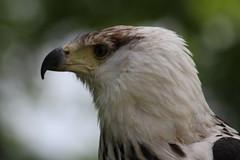 IMG_1485 (Stefan Kusinski) Tags: hemsley duncombe ncbp birdofprey
