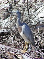 Graureiher auf Fraser Island (Sanseira) Tags: australien australia queensland fraser island 2001 vogel fischreiher graureiher