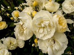 2685  Flores (Ricard Gabarrús) Tags: flores flors natura jardin botanica naturaleza ricardgabarrus planta olympus ricgaba