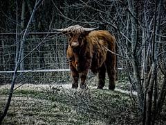 Big Max (boriches) Tags: cow highland ozarks missouri