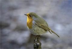 Robin (Charles Connor) Tags: robin europeanrobin wildbirds birdphotography naturephotography nature wildlifephotography wildlife canon7dmk11 canonef100400mmmk2lens