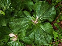 Very large California Trillium species (HandsOff) Tags: trillium cnp californianativeplant liliaceae