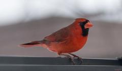 Cardinal rouge - Northern Cardinal - Québec, Canada - 0025 (rivai56) Tags: cardinalrouge northerncardinal québec canada 0025 oiseau bird cardinal rouge red sony tamron 150600 mâle avec sa belle couleur