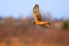 A Northern Harrier flying over the marsh (Saptashaw Chakraborty) Tags: canada ontario whitby durham fall autumn winter orange wildlife bird harrier northern lyndeshoresconservationarea flight