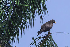 AQUILA SU UNA PALMA   ---   EAGLE ON A PALM (Ezio Donati is ) Tags: uccelli birds animali animals alberi trees foresta forest cielo sky westafrica costadavorio arealamto