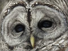 Chouette rayée - Barred owl (Marie-Lise Photographie) Tags: owl chouette bird oiseau