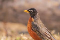 American Robin (Lynn Tweedie) Tags: americanrobin 7dmarkii feathers missouri eye bird wing beak sigma150600mmf563dgoshsm canon eos ngc animal
