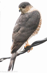 Sharp-shinned hawk (rdroniuk) Tags: birds raptors birdsofprey hawks accipiters sharpshinnedhawk accipiterstriatus oiseaux rapaces oiseauxdeproie épervierbrun