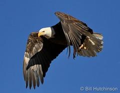 January 7, 2019 - Fantastic bald eagle launch. (Bill Hutchinson)