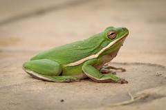 American Green Tree Frog (rickdunlap2) Tags: hylacinerea americangreentreefrog treefrog greentreefrog animal wildlife frog amphibian