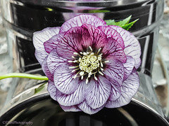 (Fay2603) Tags: flower blume blossom blüte lenzrose spring frühling pink metall metal green grün leaf blatt verde vert stamen staubgefäse