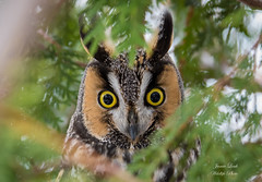 Long Eared Owl (Jamie Lenh Photography) Tags: nature wildlife birds owls longearedowl