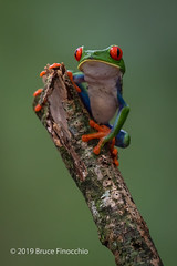 Red-eyed Tree Frog Takes A Rest By Sitting On The Top Of A Broken Branch (brucefinocchio) Tags: redeyedtreefrog treefrog amphibian portrait brokenbranch sittingontop frog froghaven agalychniscallidryas caribbeanlowlands costarica