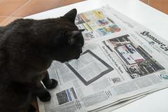 Fake News? (pwendeler) Tags: cat blackcat happycaturday katze schwarzekatze chat gato gatonegro gatonero chatnoir sonyalphaa6500 sony animal pet newspaper article fakenews hanaueranzeiger journal reading
