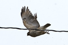 Hawk, in light Snow 1812135739w (gparet) Tags: nature outdoor outdoors scenic vista naturephotography bird birds