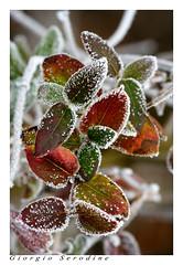 nebbia ghiacciata (Giorgio Serodine) Tags: ghiacccio brina nebbia foglie arbusto canon inverno tele