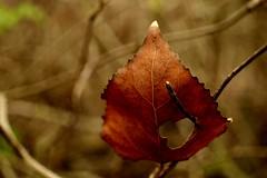 Laub mit Herz b (photohml) Tags: photograf blatt leaf laub herbst autumn colorful macro makro olympus epl3 sigma 30mm sigma30mm micro43 microfourthirds m43 dslm spiegellos mirrorless evil mft pen