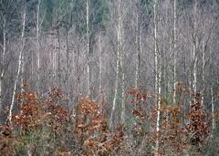 _wintercolors (SpitMcGee) Tags: wald forest mischwald laubbäume nadelbäume deciduoustrees evergreens buche birch beech fichten spruce winter spitmcgee explore 83