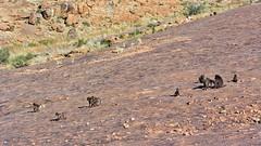 Bärenpaviane auf Felsen (Sanseira) Tags: afrika africa south süd südafrika affen horde klippspringer trail moonrocks bärenpavian
