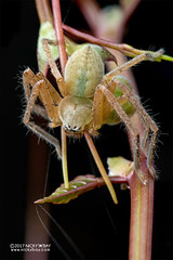 Huntsman spider (Olios sp.) - DSC_6250 (nickybay) Tags: pulauubin singapore macro workshop olios sparassidae huntsman spider