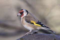 Goldfinch (Tenspeed2) Tags: goldfinch